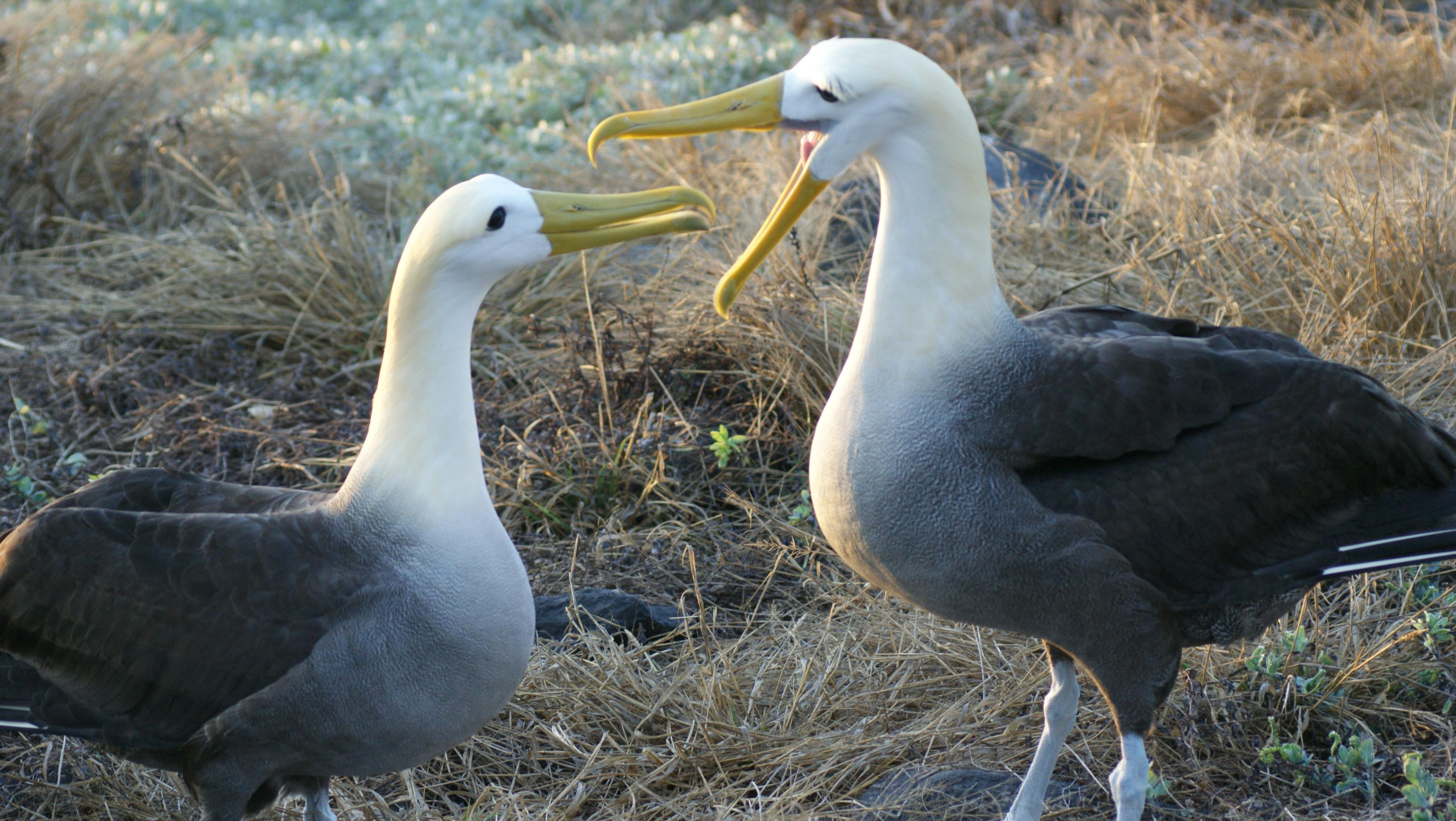 talking albatross links