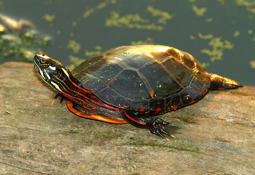 Painted-Turtle links