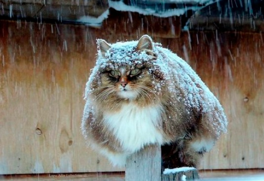 siberian forest cat links width=