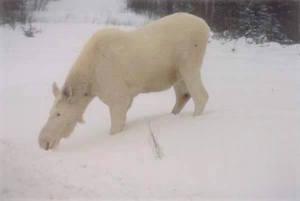 links albino moose