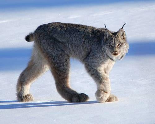 canada links lynx