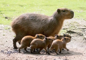 links capybara_300