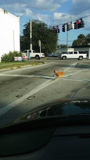 chicken_300