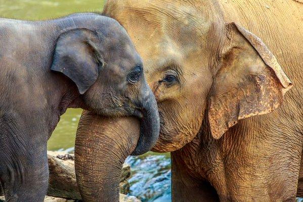 links elephants