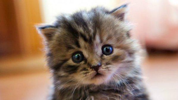 kitten_brussels