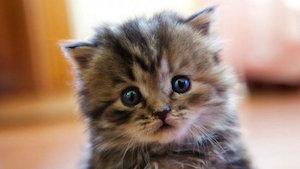 kitten_brussels_300