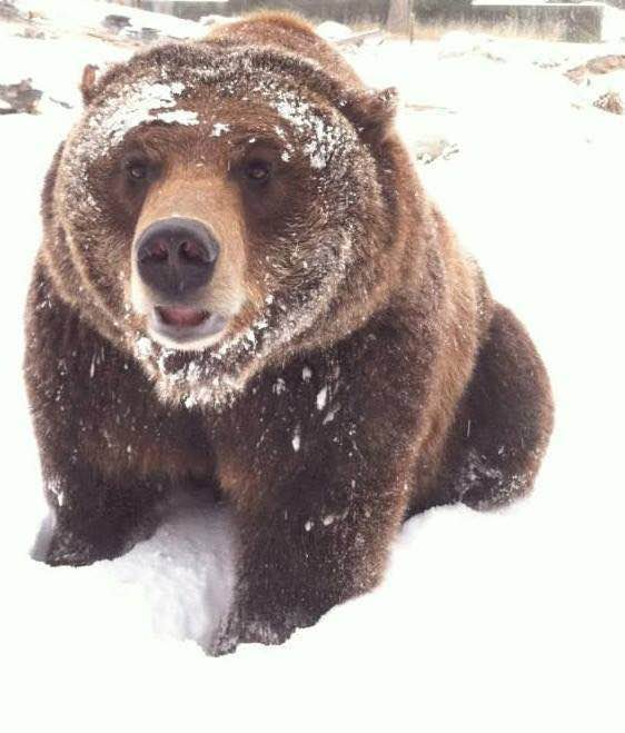 ozzy the grizzly links