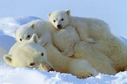 polar bears links