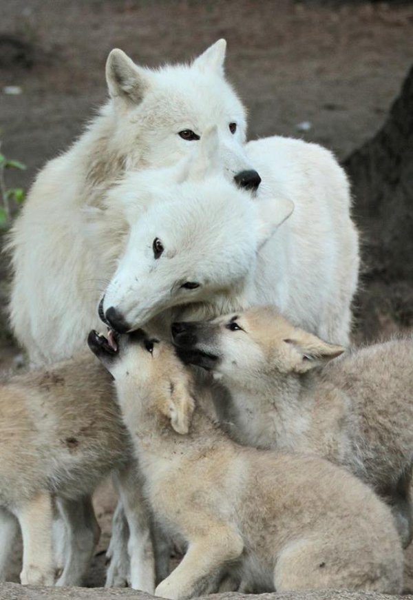 wolf_family