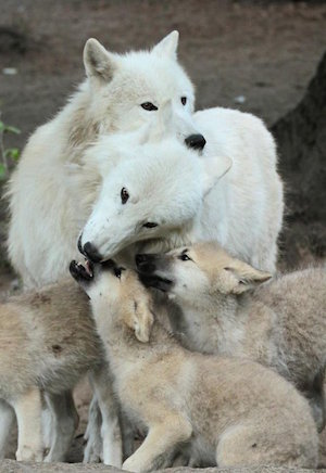 wolf_family_300