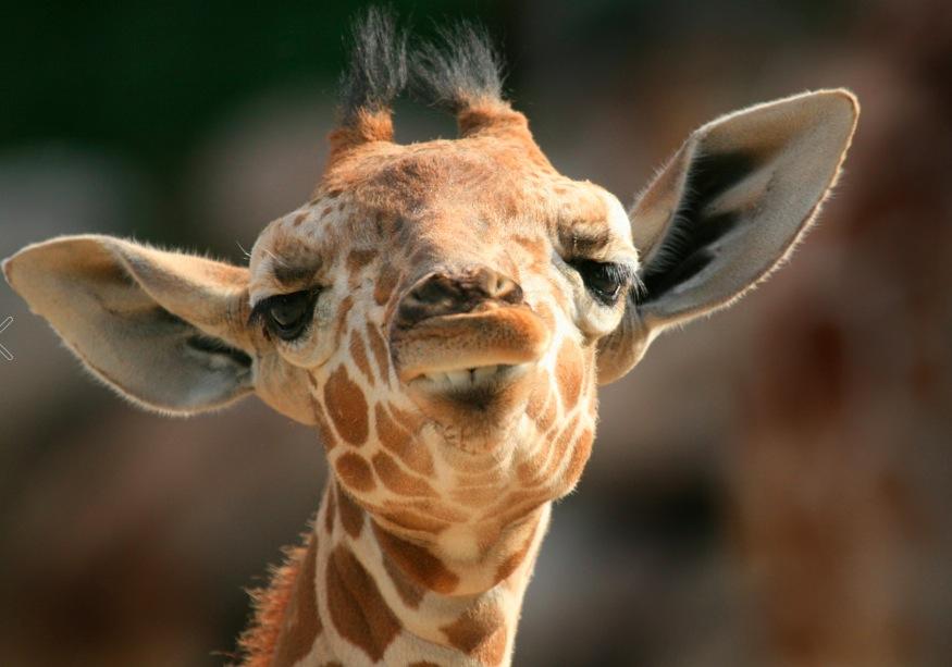 giraffe links
