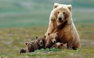 bears_300