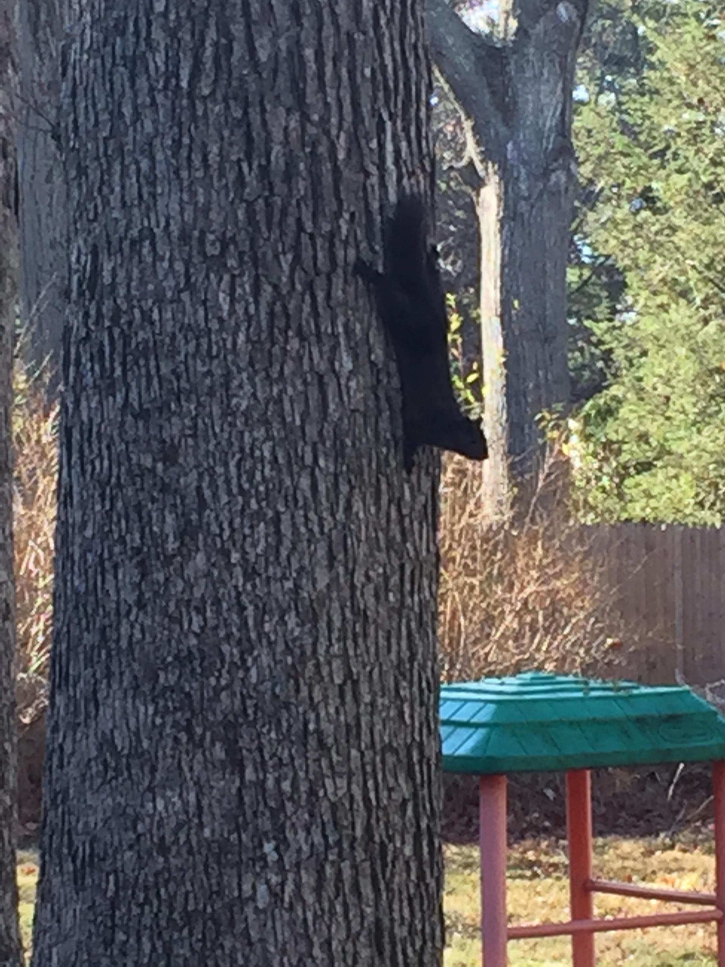 black squirrel links