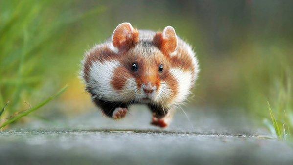 hamster_300