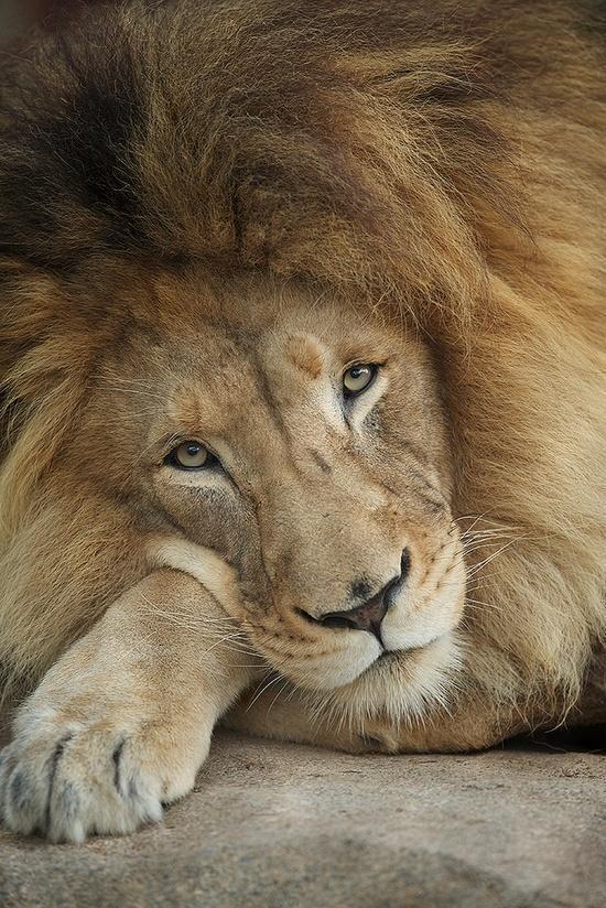 links lion