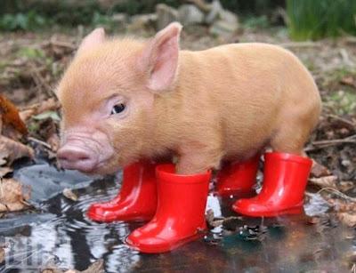 mini-pigs links