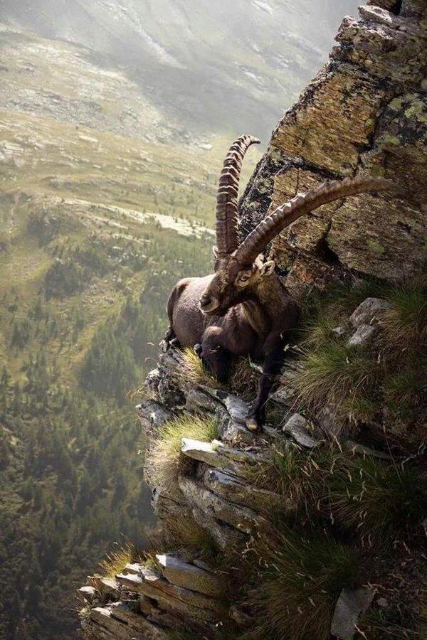 mongolian ibex link