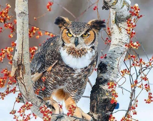 owl_snow