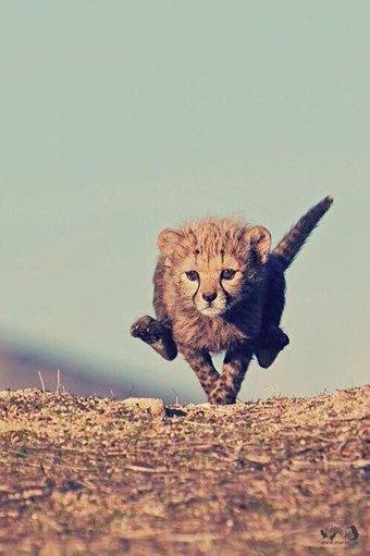 racing cheetah links