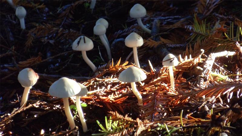 Mushrooms ordinary backyard variety