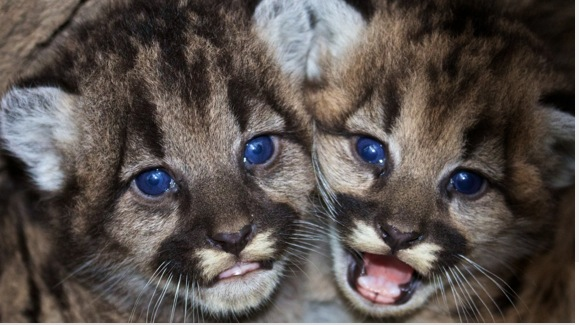 mountain lion cubs links