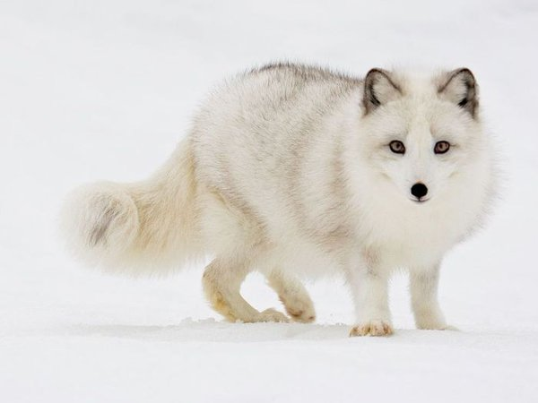 arctic_white_fox