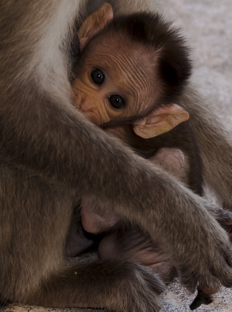 baby monkey links