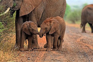 elephants_2_300