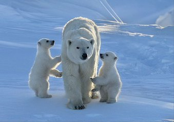 polar bear family links