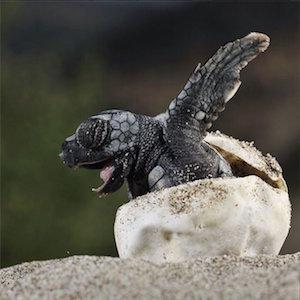 turtle_hatching_300
