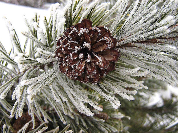 Mugo_pine