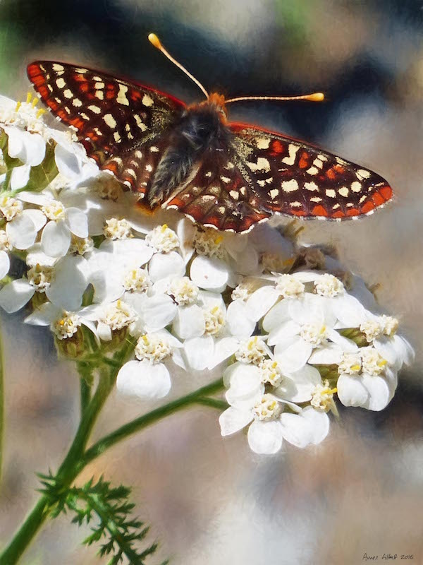 Variable Checkerspot on Yarrow paint