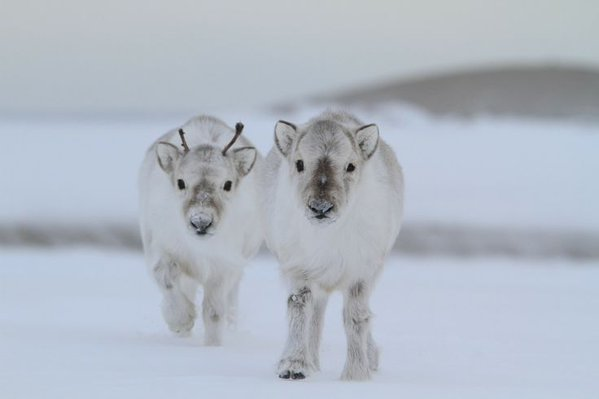 baby_reindeer