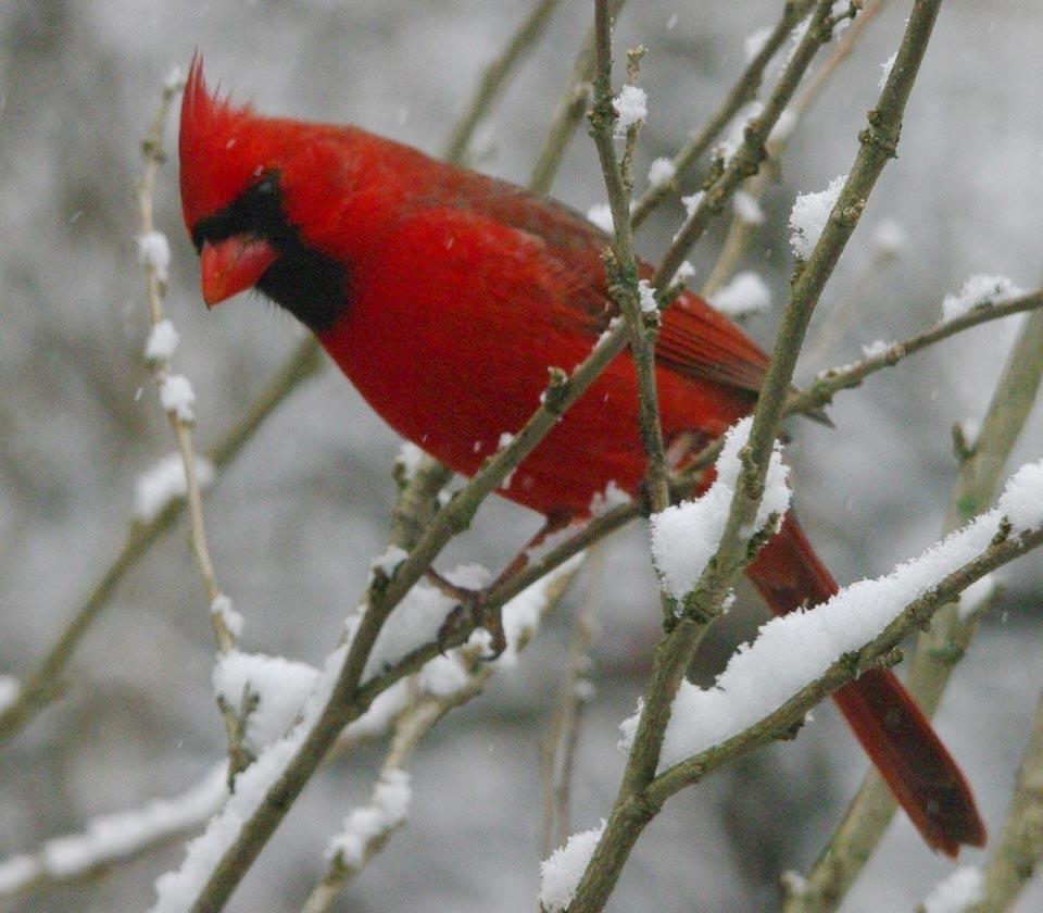 cardinal-snow links
