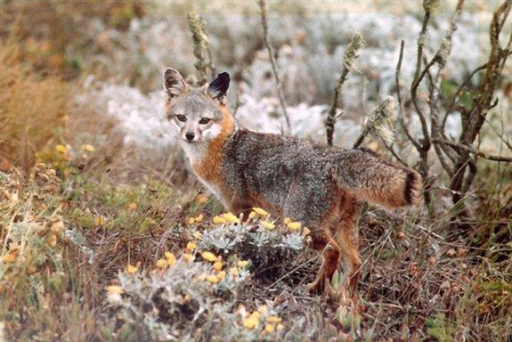 channel_island_fox