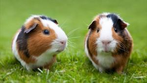guinea-pig-behavior