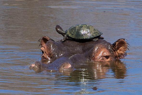 hippo-380577