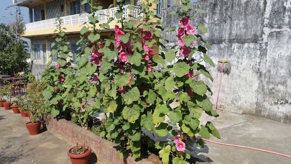 nepal_hollyhocks