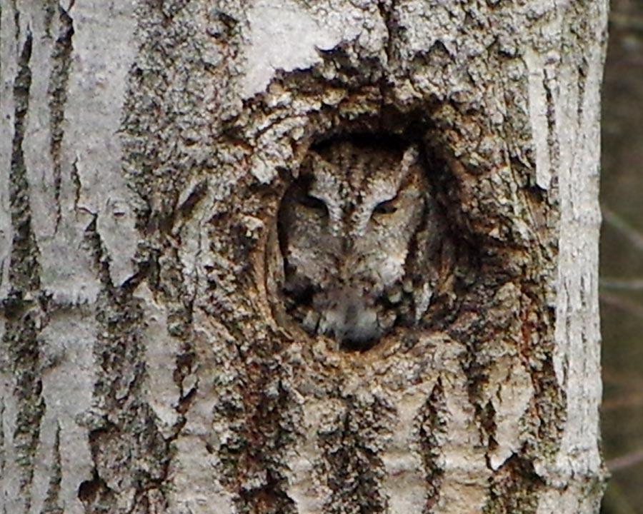 screech-owl- links