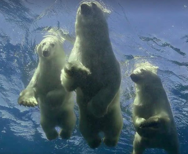 swimming polar bears links