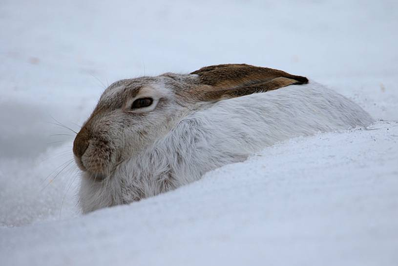 white-tailed-rabbit links