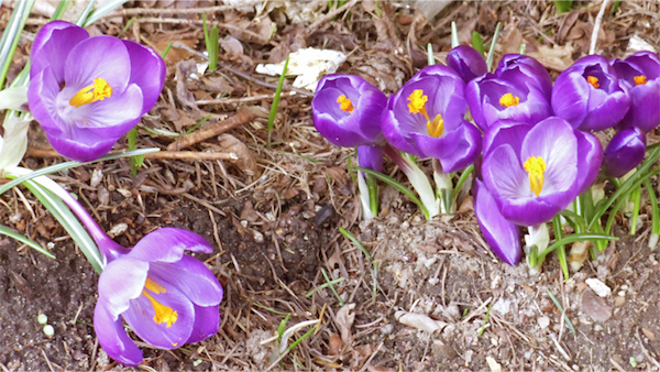 Crocuses up 3 weeks ago