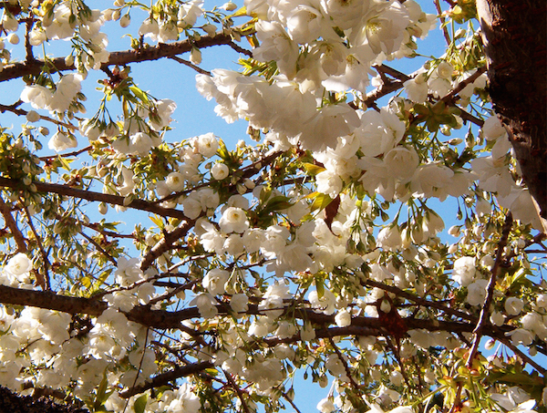 Flowering Tree March 2010