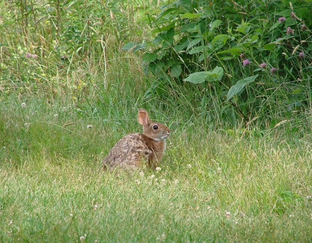 SW Cottontail rabbit for NH WAP links