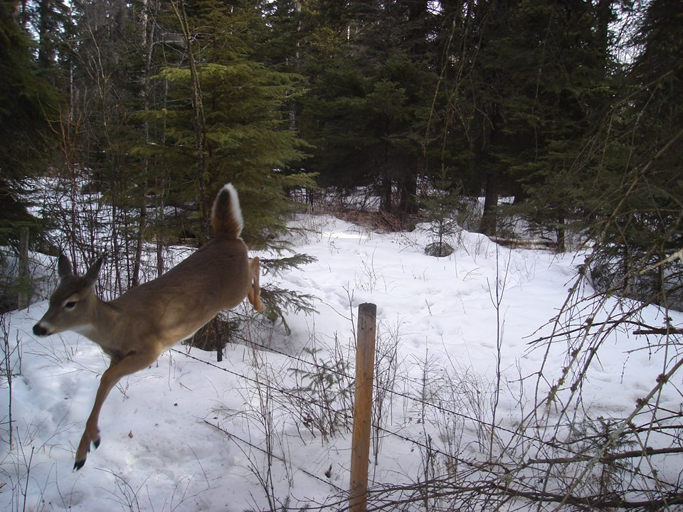 deer_bounding_fence links