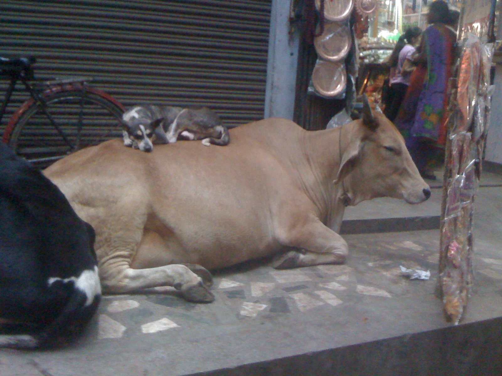 dog and cow links
