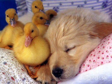 duckings and puppy links