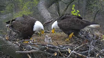 eagles and chicks links