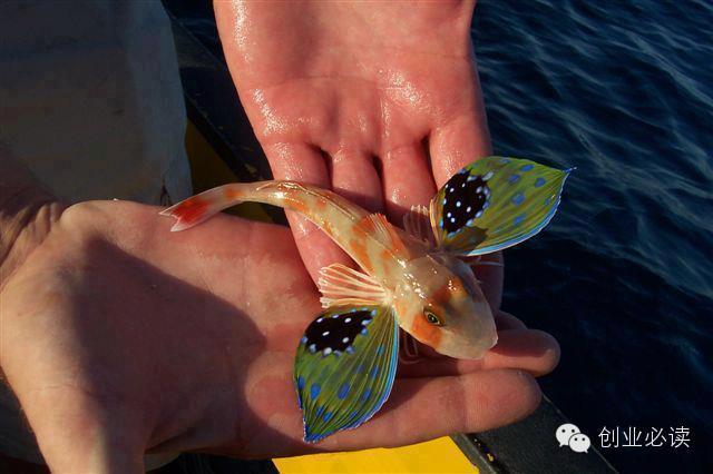 flying fish links