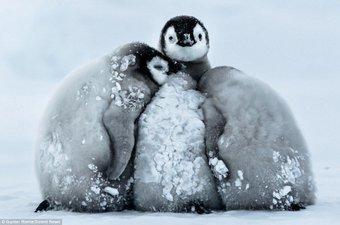 penguin chicks links